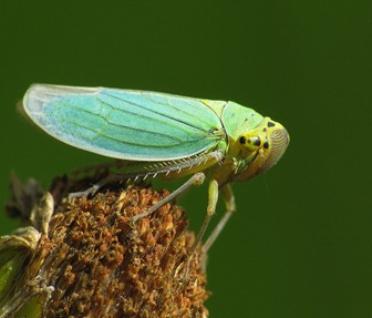 Amazing Pictures of Animals, photo, Nature, exotic, funny, incredibel, Zoo, Leafhopper, Insecta, Alex (3)