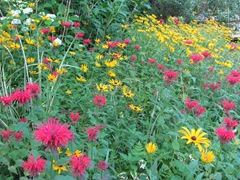 July 2013 flowers in the backyardbee balm and daisies6