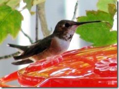 lopez hummingbird 071211 00002