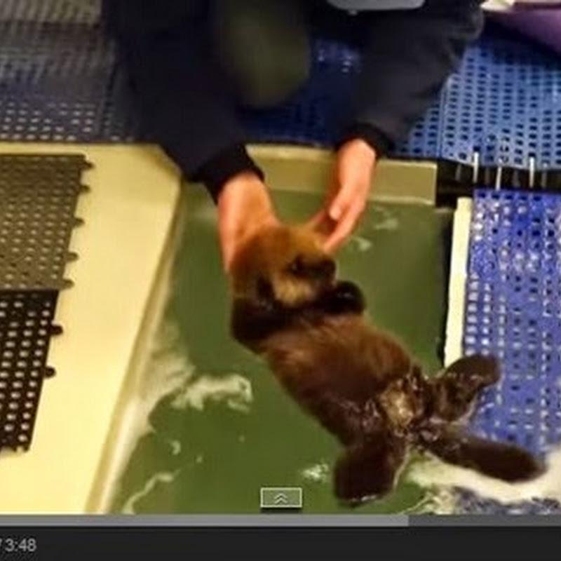 Αξιολάτρευτο μωρό βίδρα  μαθαίνει  να κολυμπά