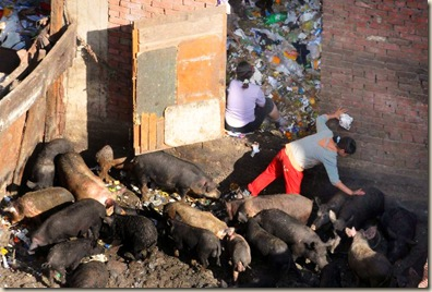 epa01711319 A girl cares for pigs as they forage in the mud for food in the Cairo slum of Mukatam, Egypt, 27 April 2009. Though there have been no reported cases of swine flu in Egypt, there have been recent deaths from bird flu and Egypt is one of the most affected countries outside of southeast Asia. There are approximately ten million Christians in Egypt and they raise pigs in sometimes unhealthy conditions. Swine flu has claimed over 100 lives in Mexico.  EPA/STR