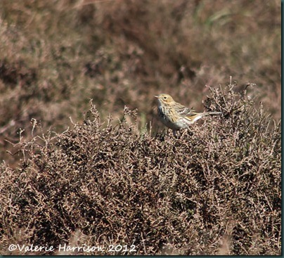 33-meadow-pipit
