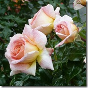 ws pink roses