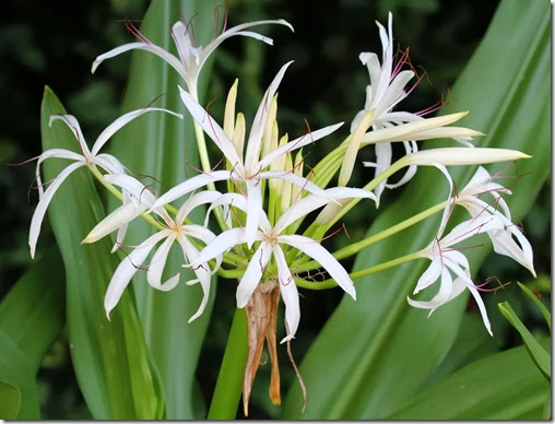 crinum sp. flowers