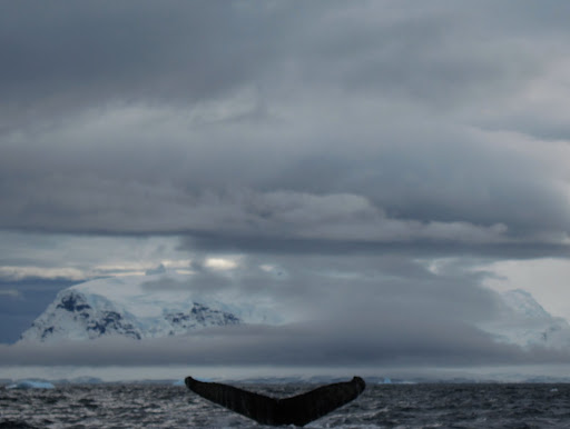 "A ""fluking"" Humpback Whale."