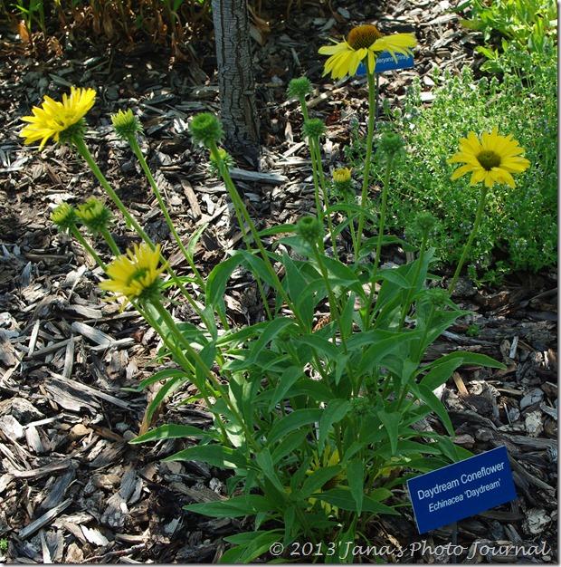Daydream Coneflower Plant