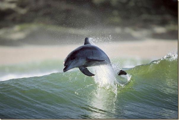 Danse avec les dauphins (1)