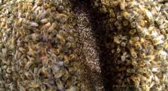 Closeup view of a beehive. The bee die-off in the U.S. continued to accelerate in 2013. Photo: NBC Nightly News