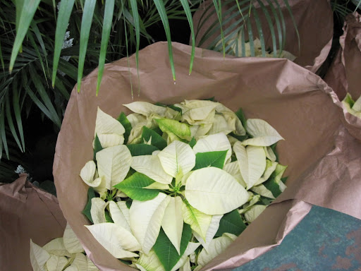White poinsettias are so elegant looking.