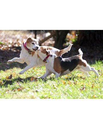 Bailey and Aubie Harbach, beagles from Greensboro, North Carolina.