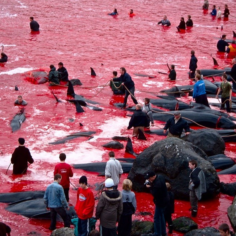 Mass Whale Hunting in Faroe Islands Leave Sea Blood Red