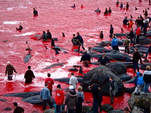 whale hunting 11%25255B2%25255D Tradisi Pembantaian Paus Secara Massal di Gulfstream