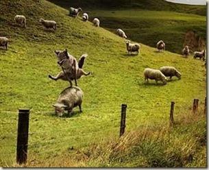 Lobo com ovelhas