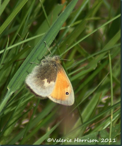 small-heath-butterfly