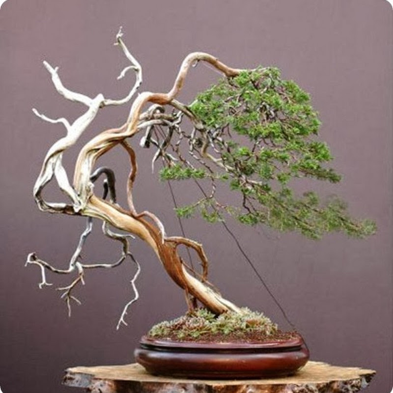 The Ancient Art of Bonsai: Gallery Junipers (Part 4).