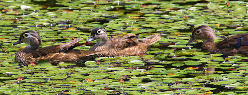 7-15-09, Picazo Farm Pond, female Wood Duck and two juveniles, 12:05 p.m.