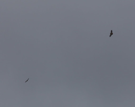 See those red-tailed hawks circling around up there?  They actually like the wind for soaring.  Let me warn you, since you are still so small - hawks can swoop down and pick up little creatures with their sharp talons.