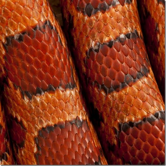 2 Close-up of corn snakeskin or red rat snakeskin, Pantherophis guttattus image from Bigstock