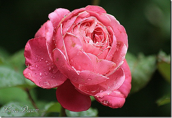 Pink_Flamingo_Rose