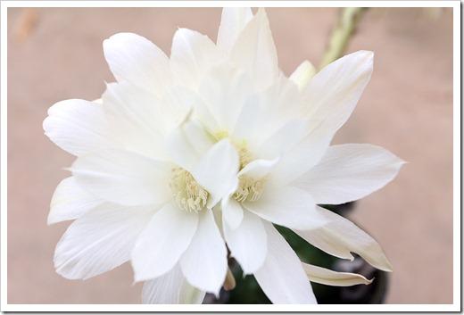 120603_echinopsis-subdenudata_18
