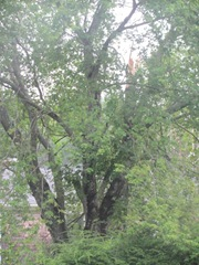 2011 Hurricane Irene broken maple tree branch