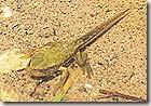 Girino rana verde ingresso (4)