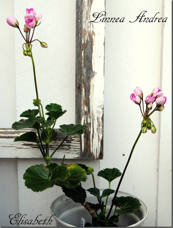 Pelargonium aug-11 045
