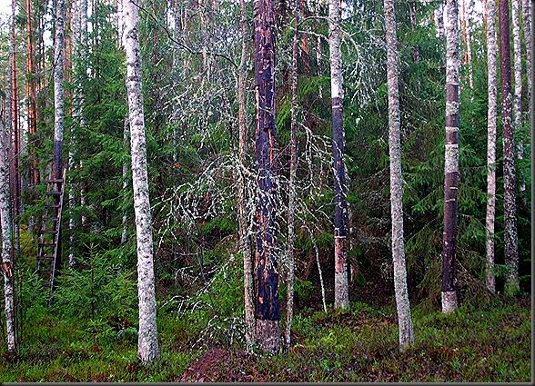 suomalainen syys metsä suppilovahvero 035