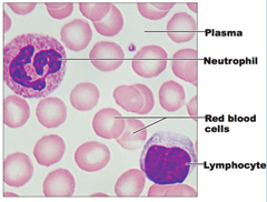 lymphocytes and erythrocytes