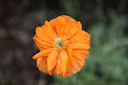 The bright orange color gives me a warm and sunny feeling.  No wonder this is the official state flower of California!