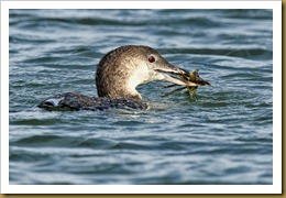 Common Loon with a Crab
