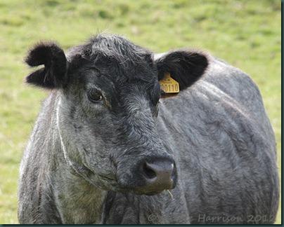 13-cow