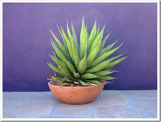 071218_agave_in_bowl
