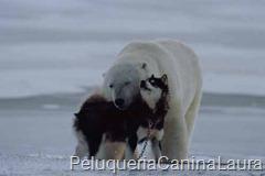 husky y oso polar
