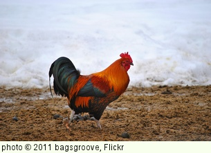 ' Rooster' photo (c) 2011, bagsgroove - license: http://creativecommons.org/licenses/by-sa/2.0/