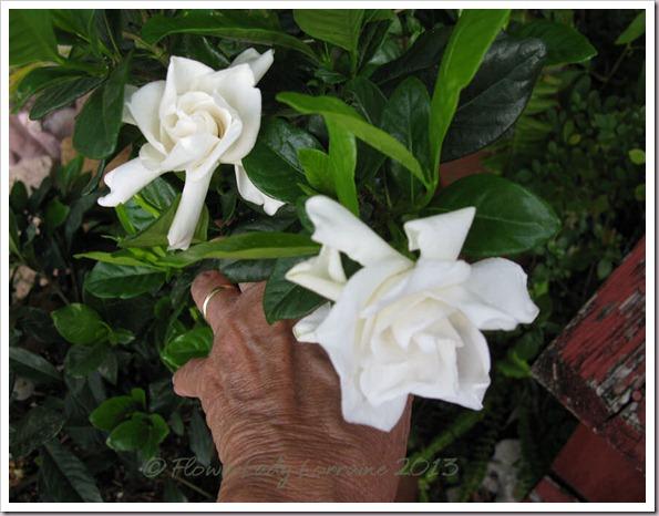 04-27-gardenias