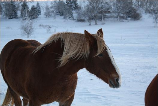 snow horses 040