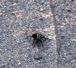 7. tarantula-kab