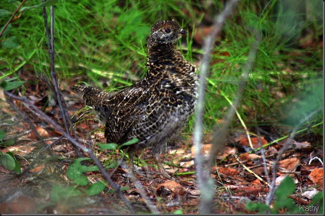 Grouse in the bush