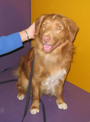 This Nova Scotia Duck Tolling Retriever has the prettiest eyes!