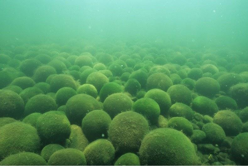 marimo-moss-balls-4