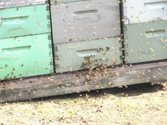 bees at hives to pollunate the cranberries