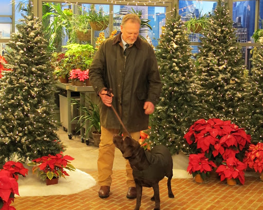 This is Pickett, a chocolate Labrador retriever.  Pickett's wearing a waxed cotton canvas jacket from The Orvis Company.