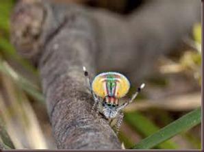 Amazing Pictures of Animals, photo, Nature ,exotic, funny, incredibel, Zoo, Maratus volans,  Peacock spider or Gliding spider, Alex (22)