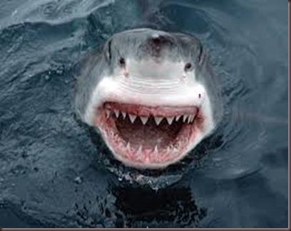 Amazing Animals Pictures White Shark (6)