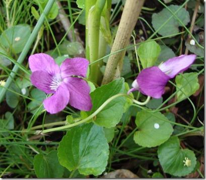 violet2web