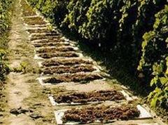 Ο Ενιαίος Αγροτικός Συνεταιρισμός υπέρ των σταφιδοπαραγωγών της Παλικής