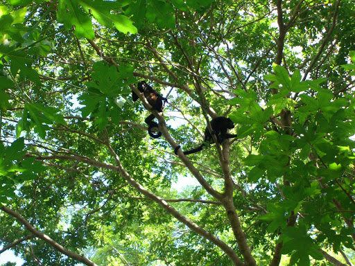 Costa Rica - Playa Flamingo & Playa Brasilito Cycling - Pack of spider monkeys!