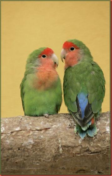 Peach faced Lovebirds