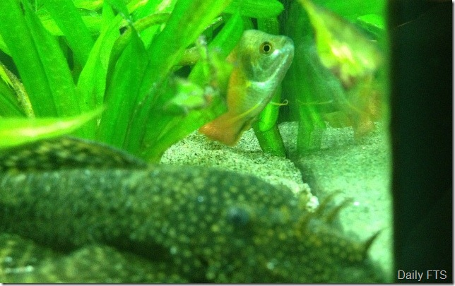 4-Bristlenose Catfish Ancistrus.07